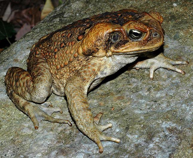 cane toad australia