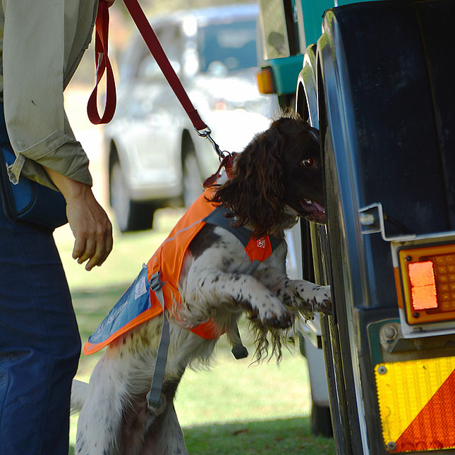 cane toad detector dog